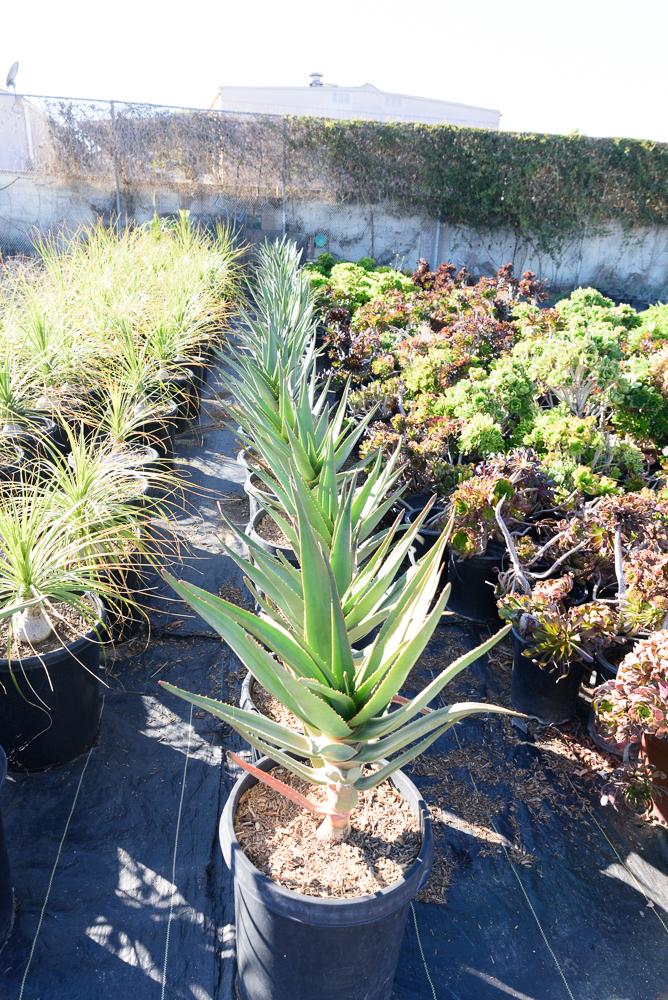 15 gal - Aloe 'Hercules'