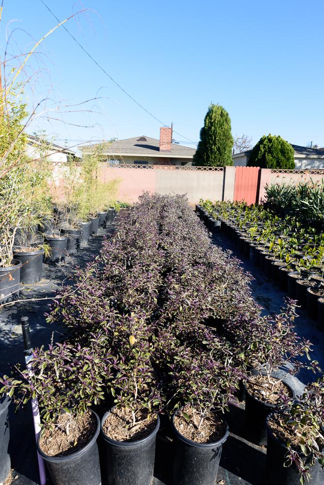 5 gal - Vitex trifolia 'Purpurea' - Arabian Lilac
