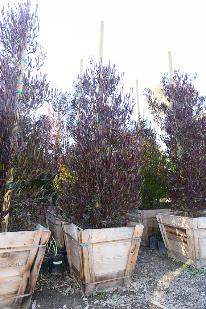 "24"" box - Dodonaea viscosa 'Purpurea' - Purple Hop Bush"