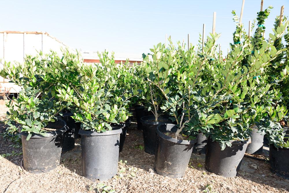 5 gal - Ligustrum japonicum 'Texanum' - Waxleaf Privet
