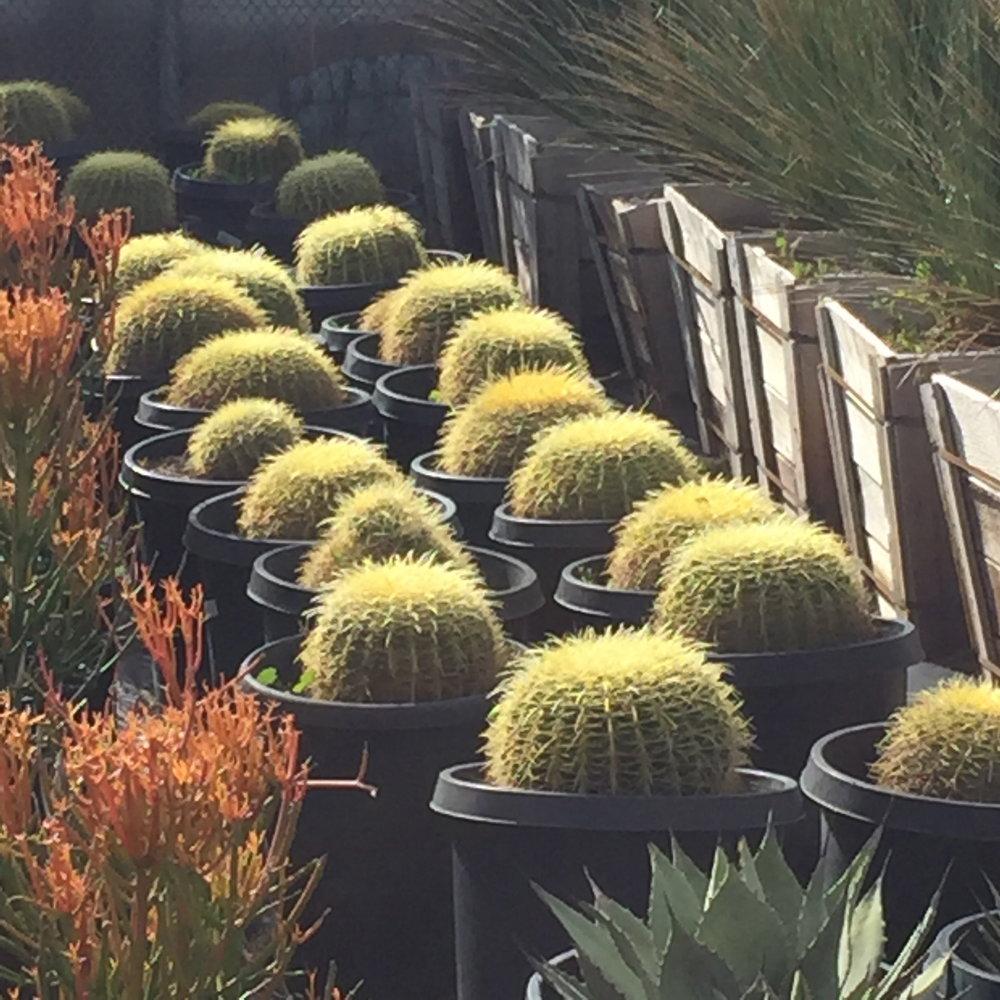 15 gal - Echinocactus grusonii - Golden Barrel Cactus