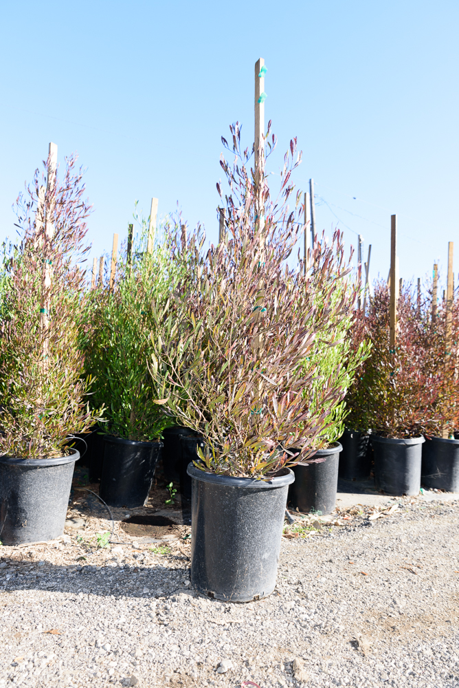 15 gal - Dodonaea viscosa 'Purpurea' - Purple Hop Bush
