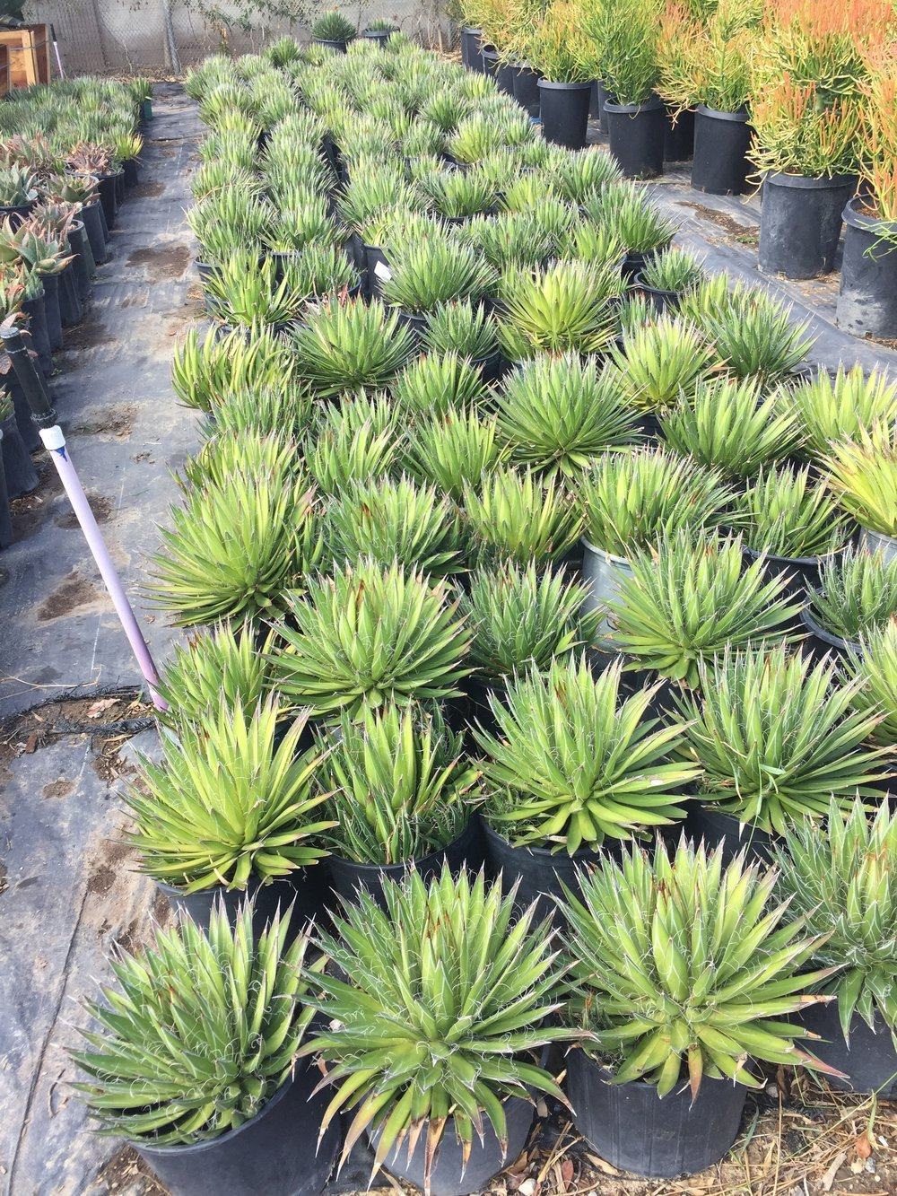 5 gal - Agave filifera - Thread Agave