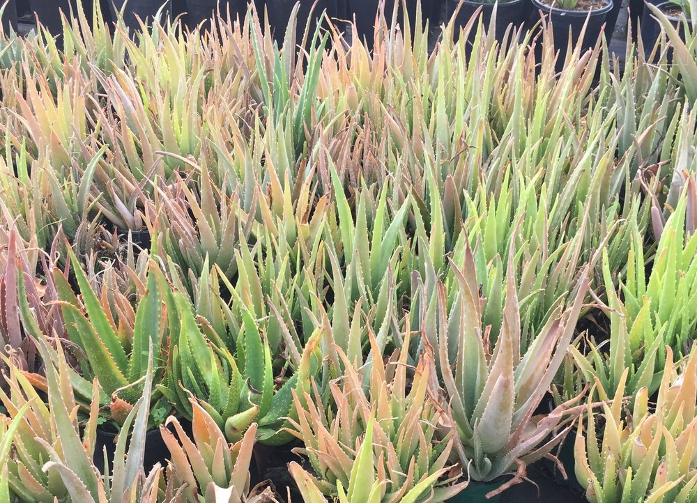 5 gal - Aloe vera - Medicine Plant