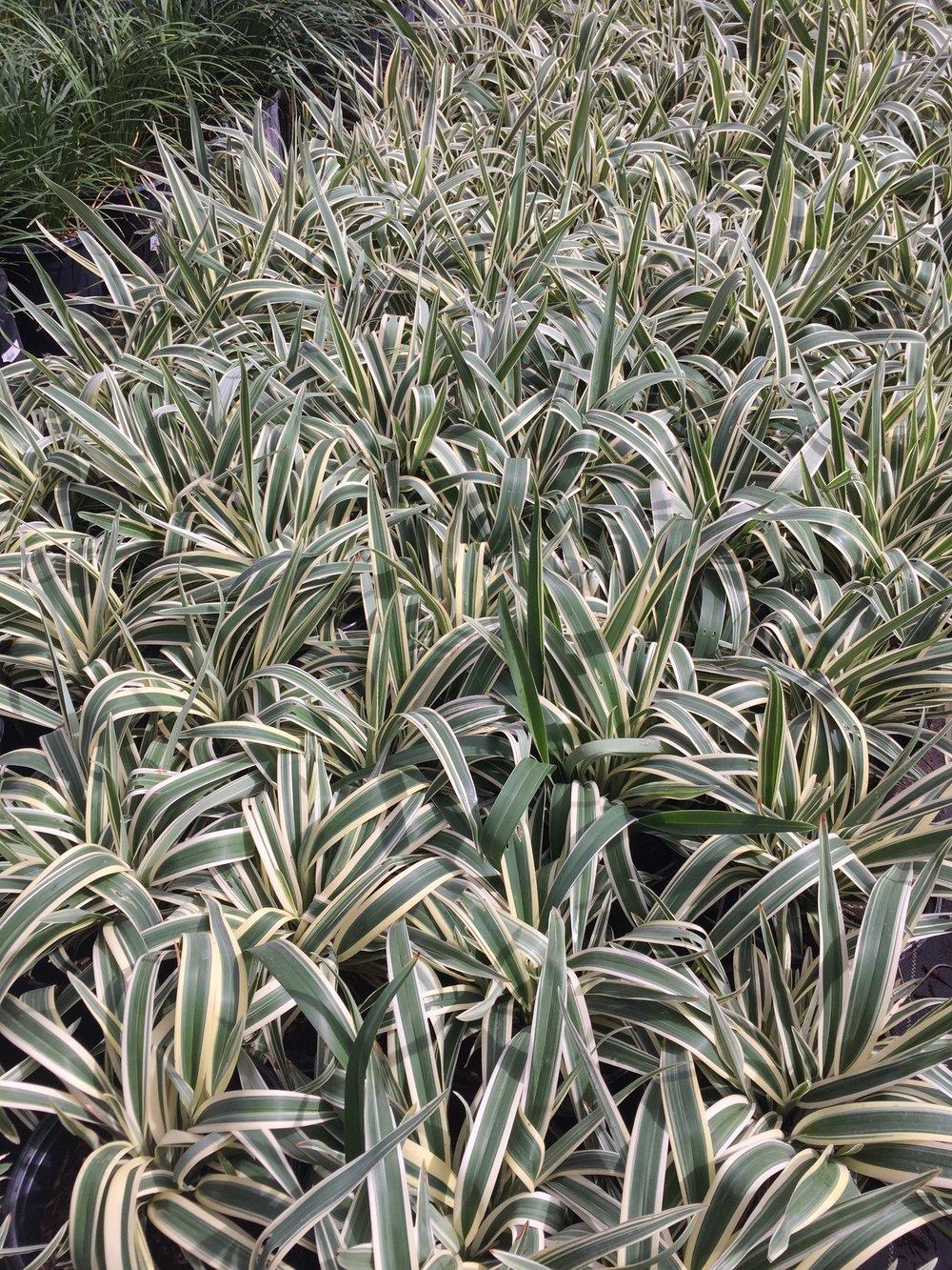 5 gal - Dianella tasmanica 'Variegata' - Variegated Flax Lily