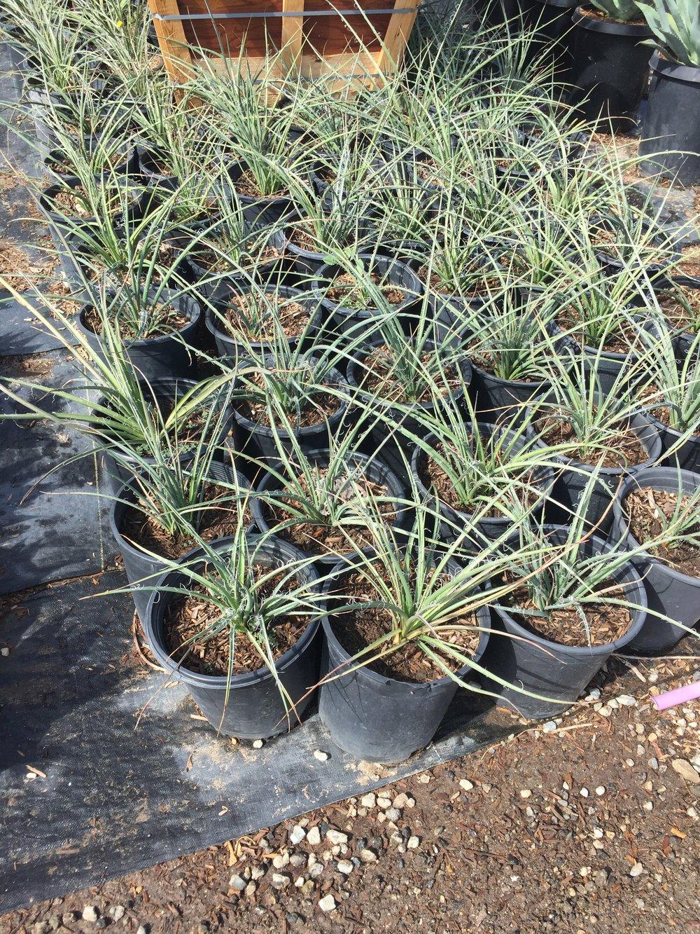 5 gal - Hesperaloe parviflora - Red Yucca