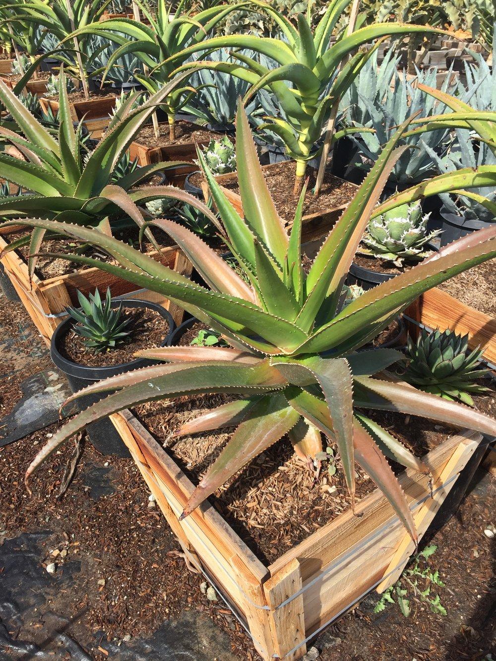 """24"""" box - Aloe vaombe - Malagasy Tree Aloe"""