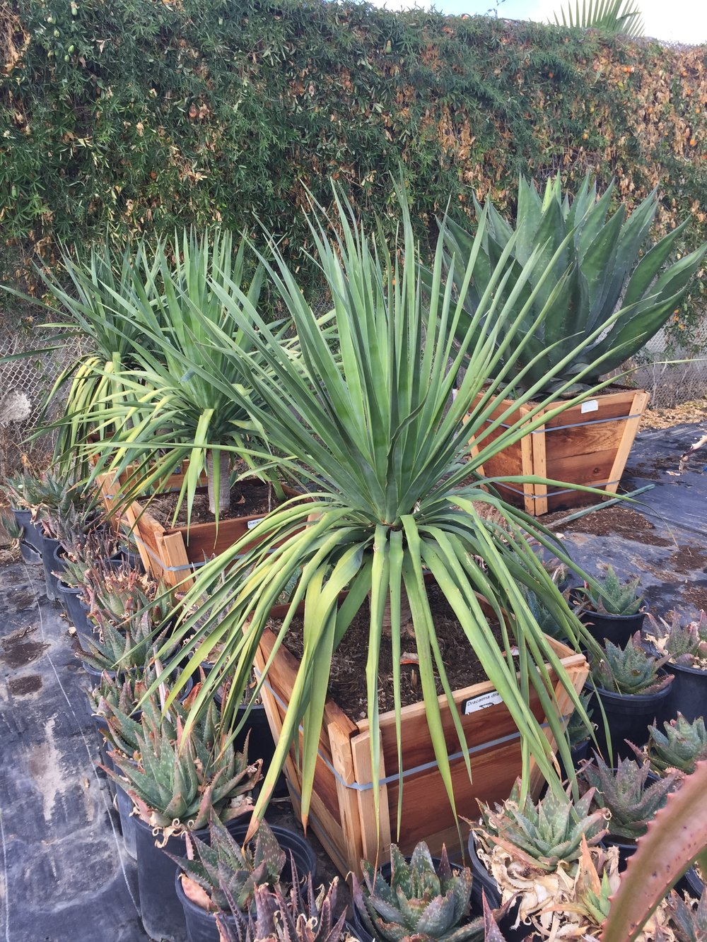 "24"" box - Dracena draco - Dragon Tree - Single"