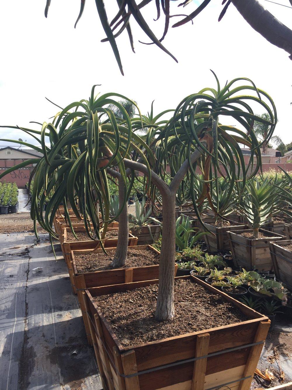"30"" box - Aloe barberae - Aloe bainesii"
