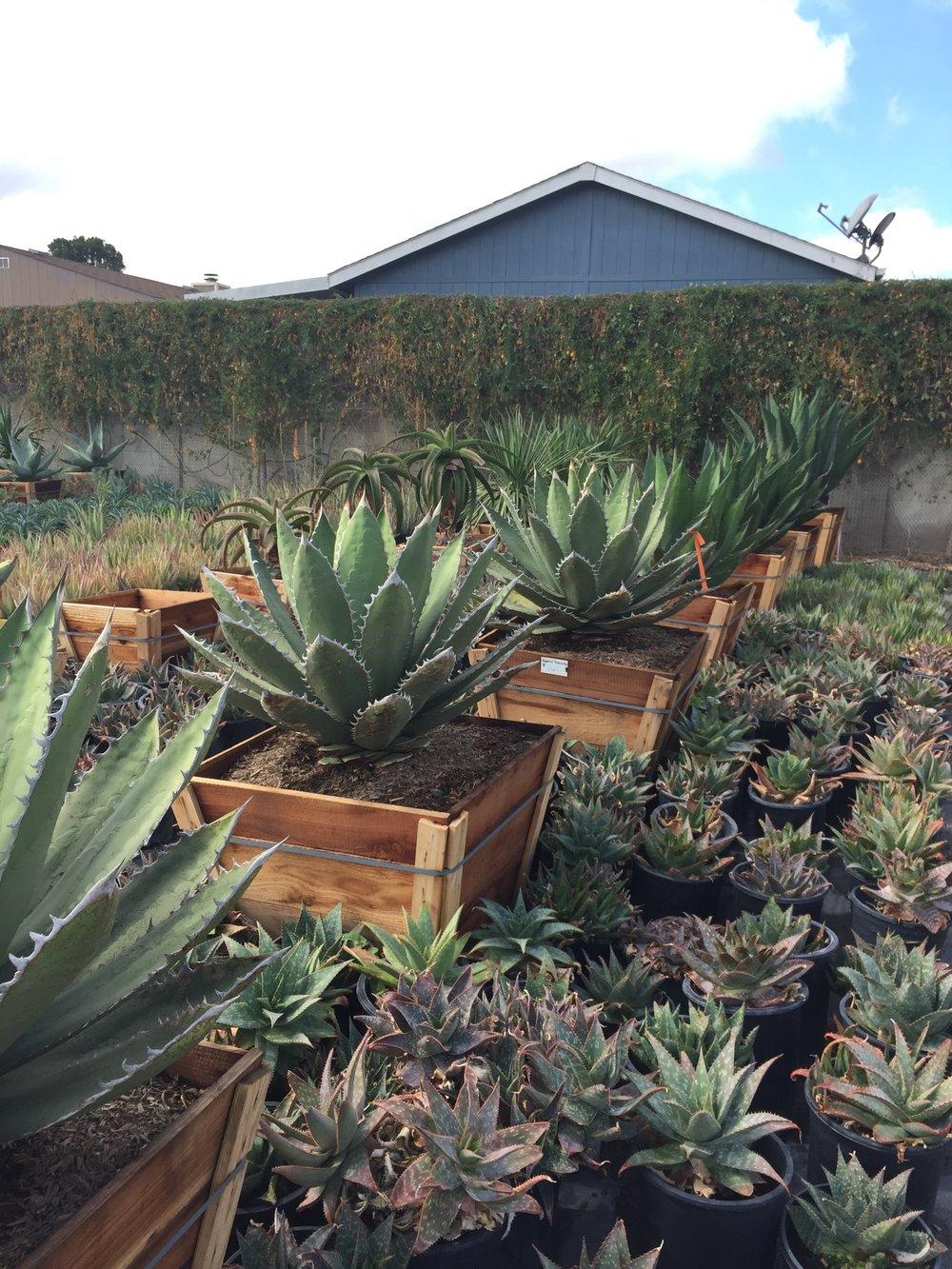 "30"" box - Agave titanota - Rancho Tamor Agave"