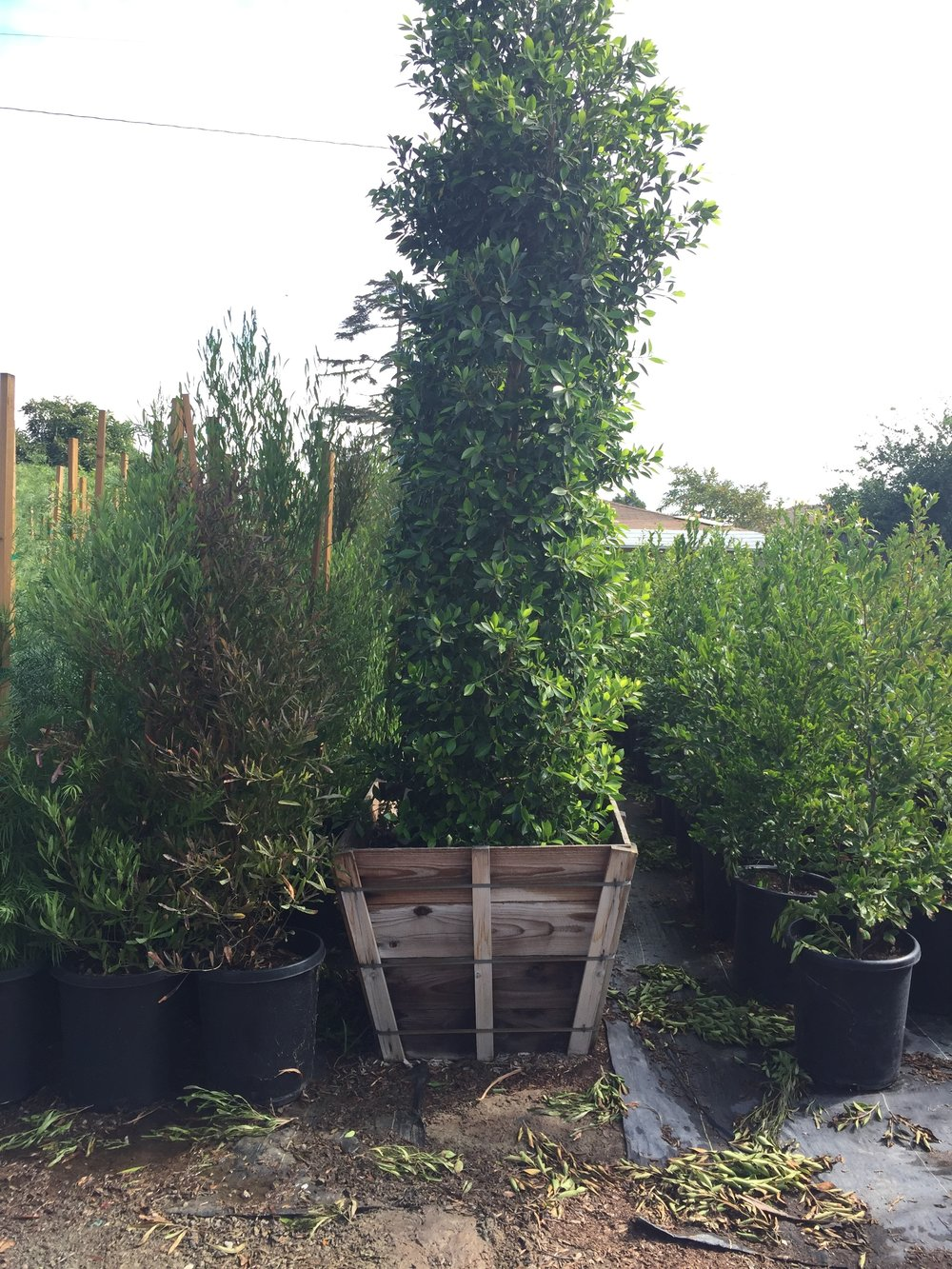 "36"" box - Ficus nitida - Column"