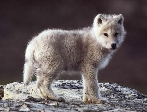 baby_wolf.jpg