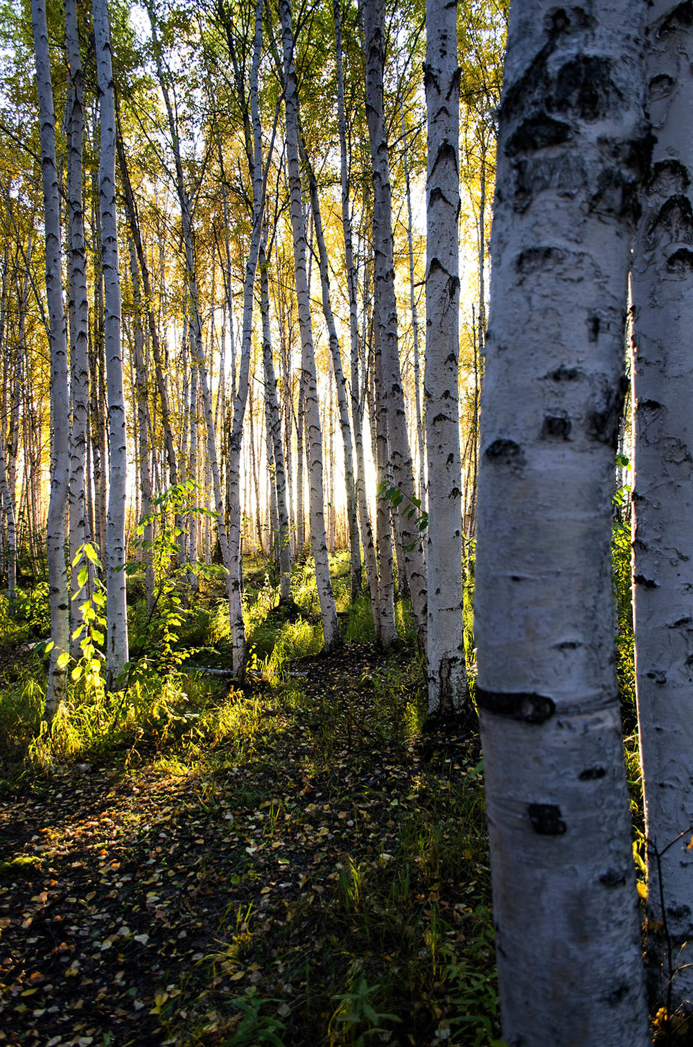 Birch trees in summer light at Creamers Field, Fairbanks, AK.