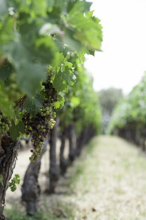 Grapes at Mondave-1.jpg