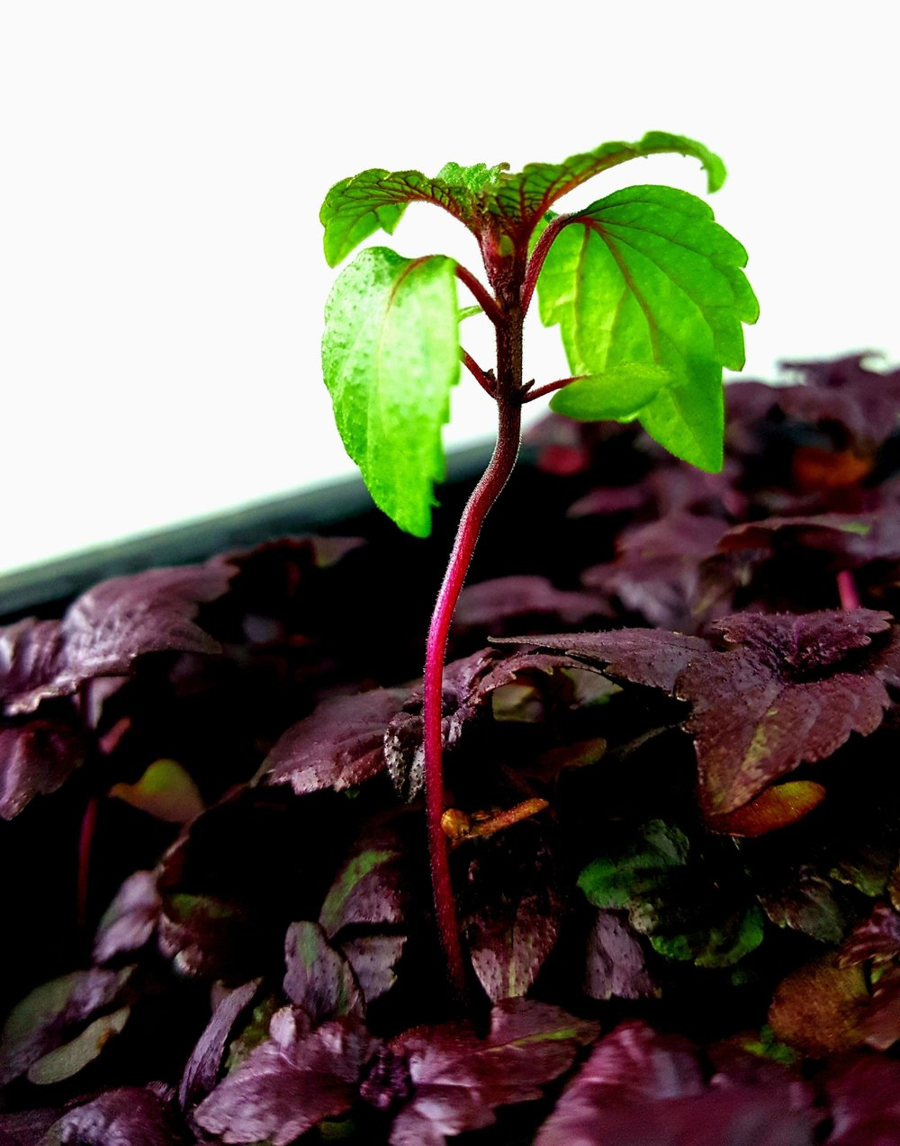 """A rare photo of a Red Shiso microgreen in green with beautiful red veins."""
