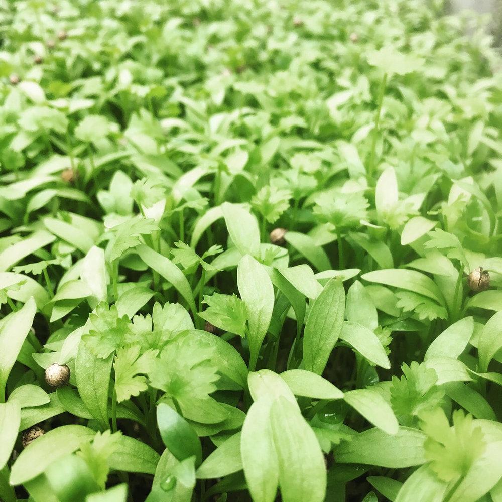 microgreens 2.jpg