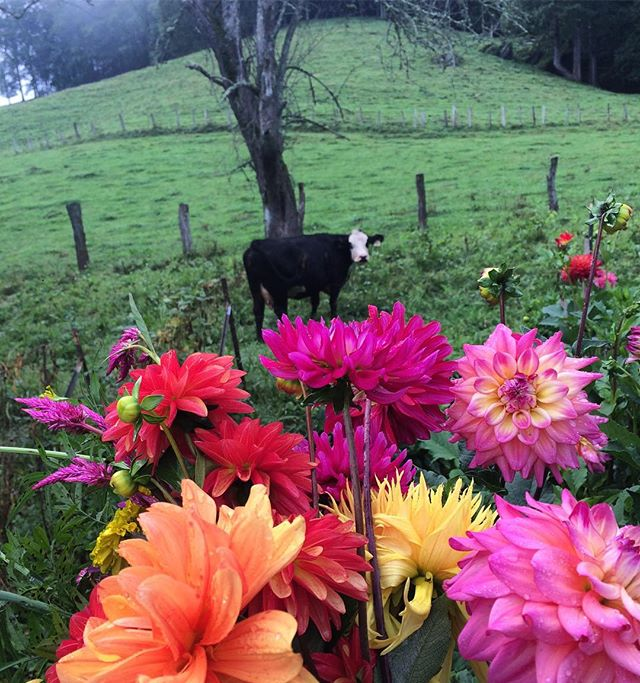 My morning company. #farmerflorist #millefleursfloral #ncmountainwedding #dahlia
