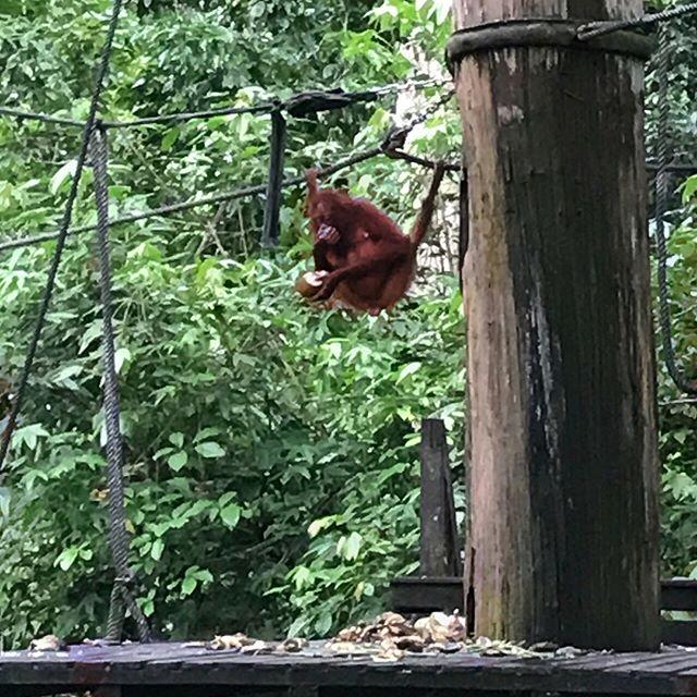 Orangutan!!!!!!