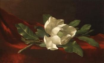 Magnolia. 1885-95
