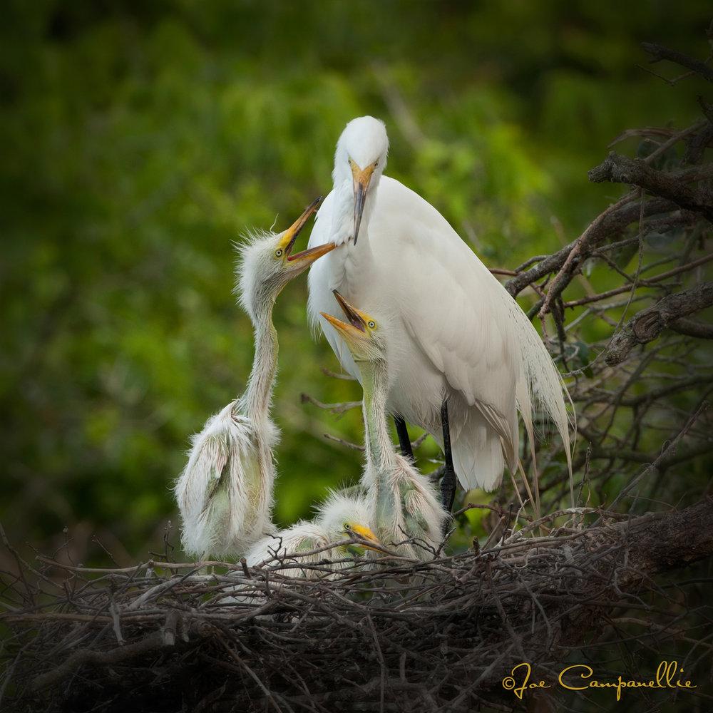 Hungry Chicks © Joe Campanellie