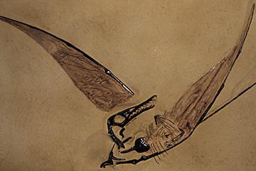 A pterosaur skeleton