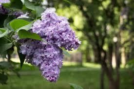 lilac plant care.jpg