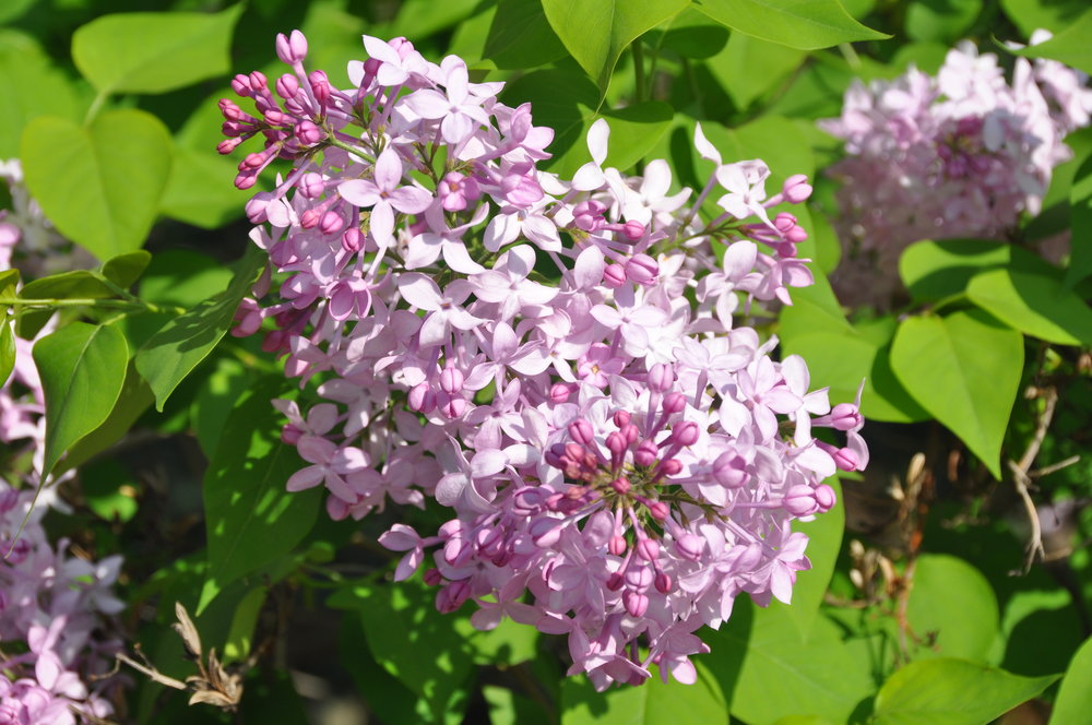 Excel Lilac Bloom.JPG