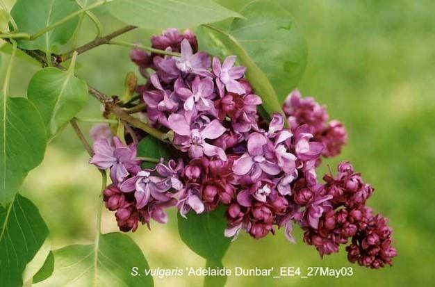 syringa vulgaris adelaide dunbar.jpg