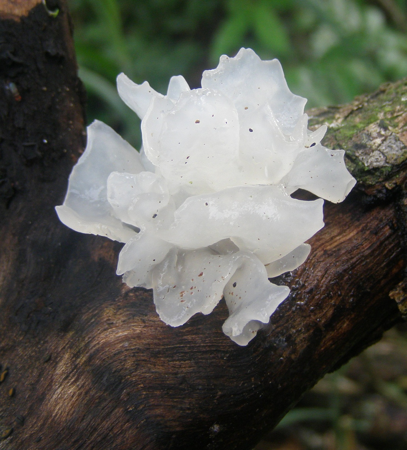 The Snow Mushroom's jelly body allows it to absorb all of that important moisture