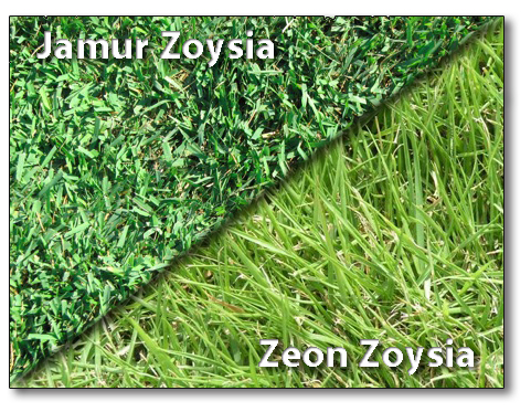 Difference between Jamur and Zeon Zoysia