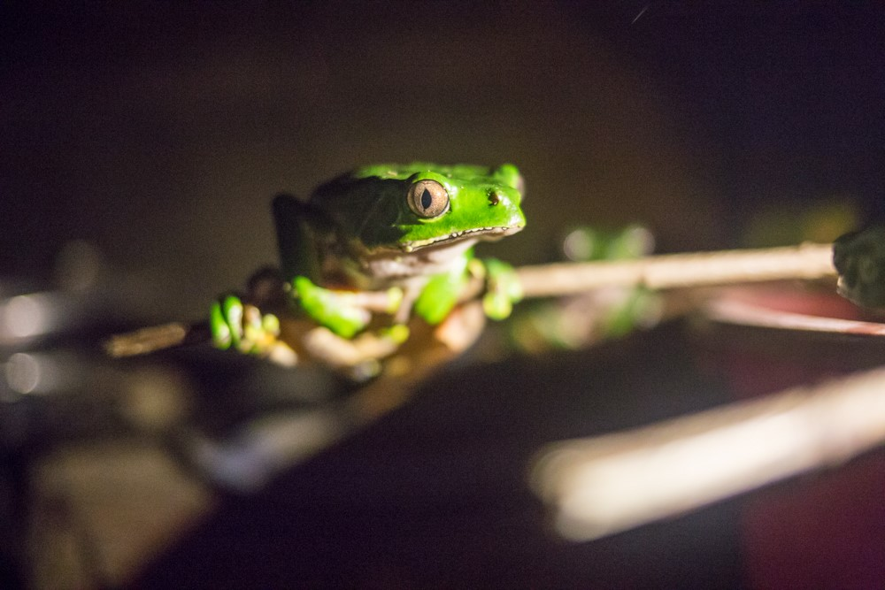 Frog at night 2.jpg