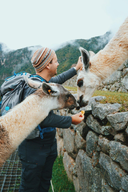 New friends! Llamas of Machu Picchu.