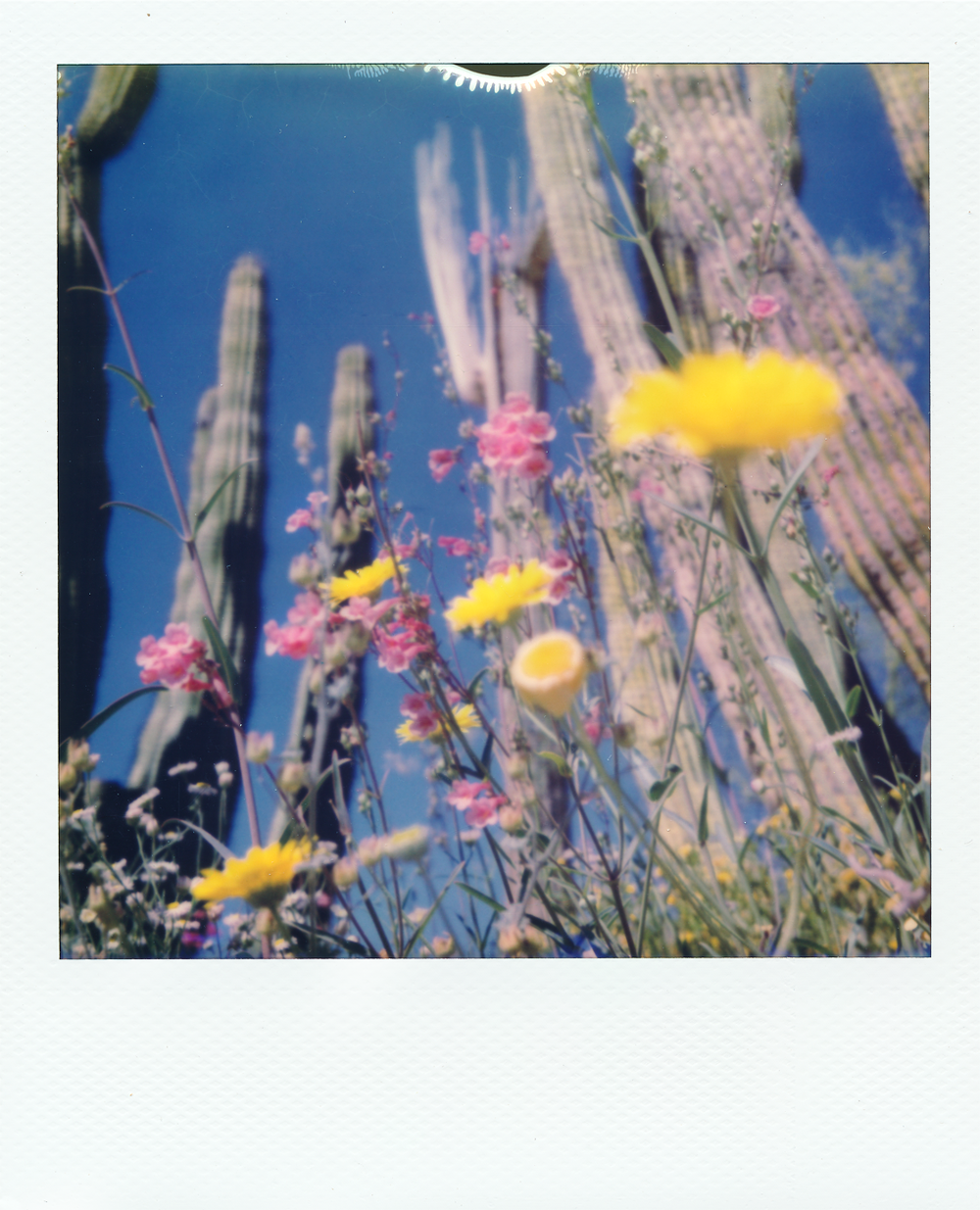 Desert Flowers  comprises of over 150 instant photographs taken with an SX70 over the course of a month long roadtrip through the Sonoran, Chihuahuan, and Mojave desert.