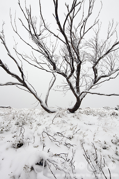 Snow tree in the Brindabellas