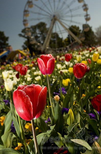 2010 Floriade Tulips