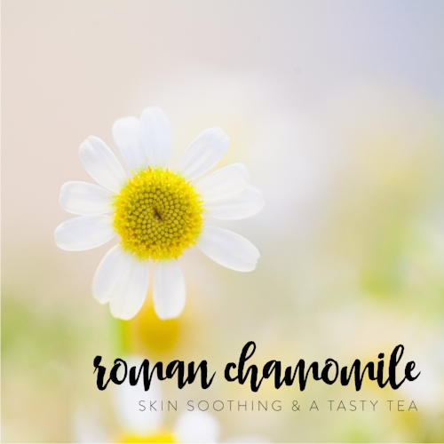 romanchamomile