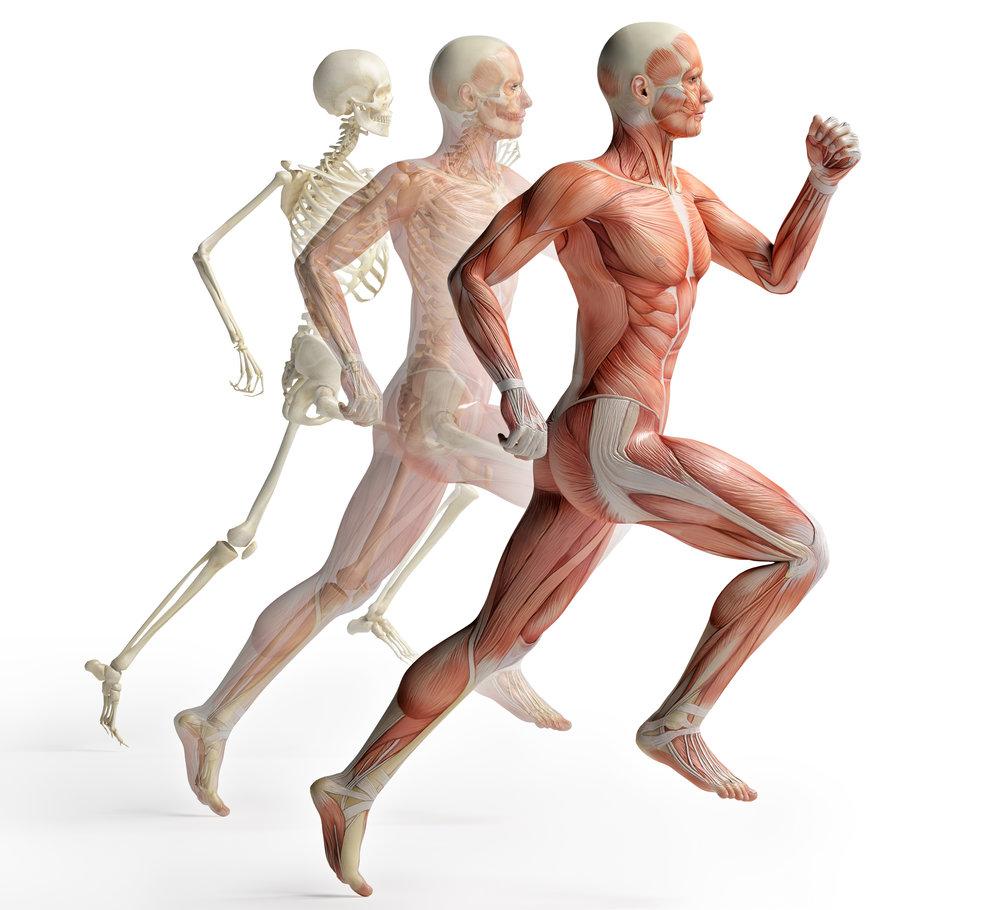 male anatomy runner .jpg