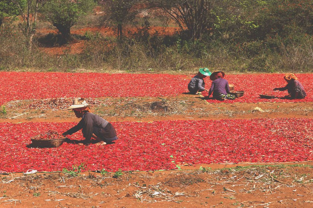 Workers lay chillis to be sun-dried