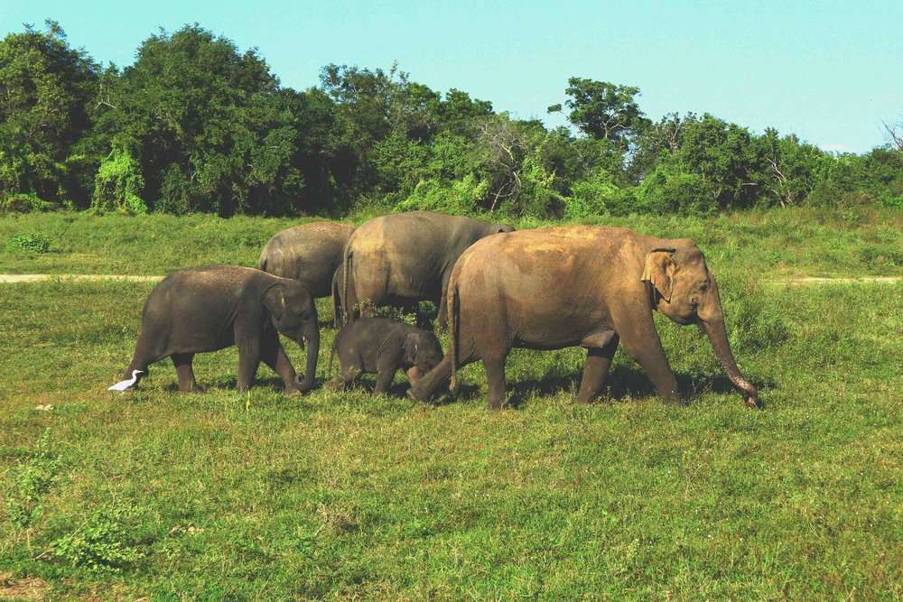 Kaudulla National Park on an elephant safari!