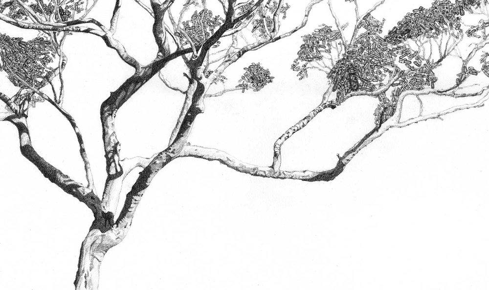 Eucalyptus motosega