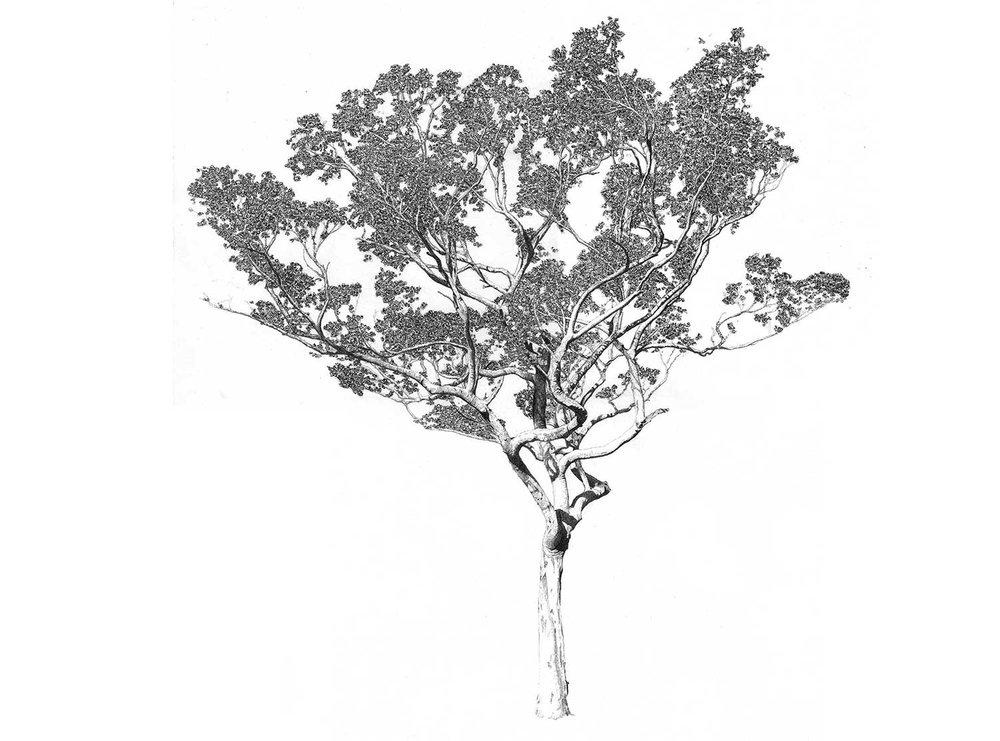 Eucalyptus excavadora
