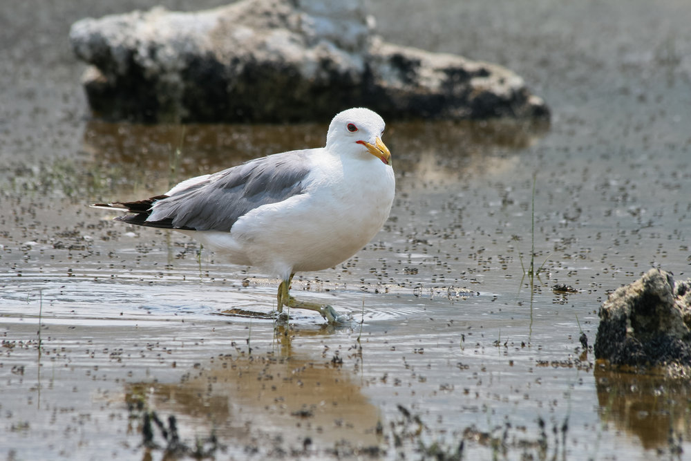 California Gull JPEG_web.jpg