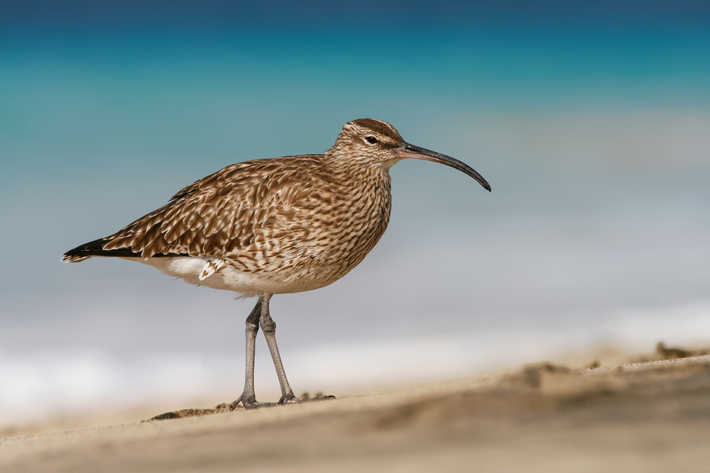 Whimbrel-JPEG_web 2.jpg