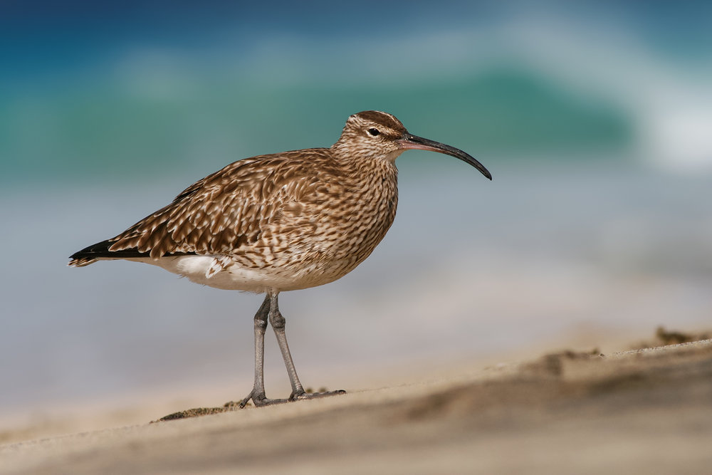 Whimbrel-JPEG_web 3.jpg
