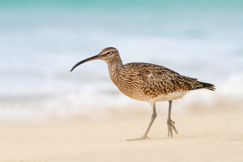 Whimbrel-JPEG_web 4.jpg