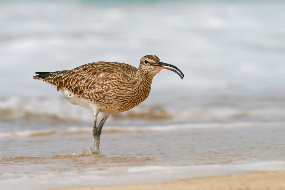 Whimbrel-JPEG_web 5.jpg