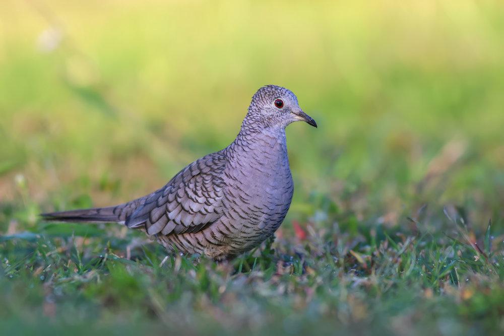 Inca-Dove-JPEG_web.jpg