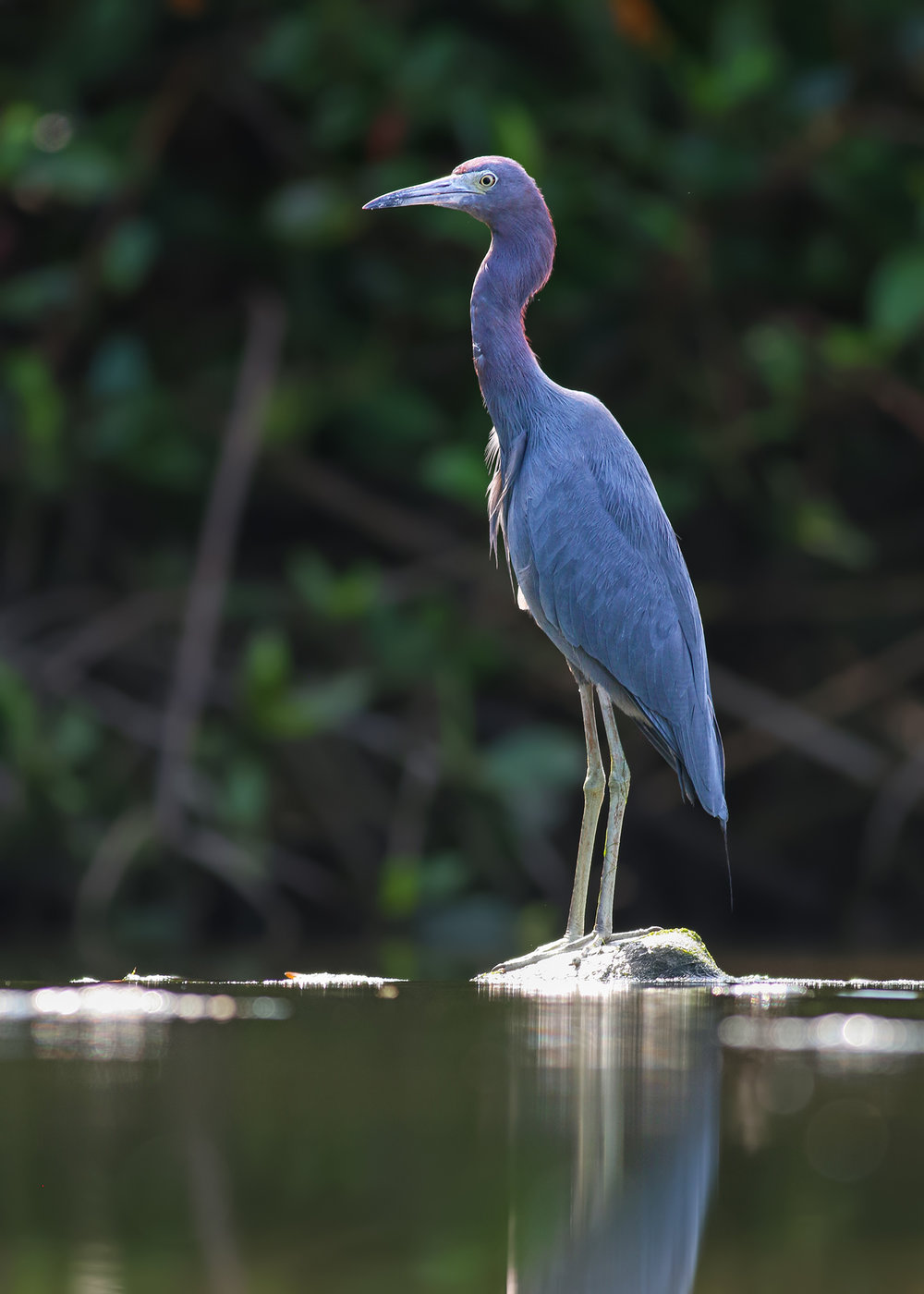 Little-Blue-Heron-JPEG_web 5.jpg