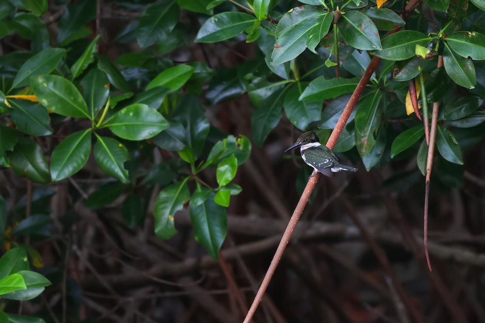 Kingfisher-JPEG_web.jpg