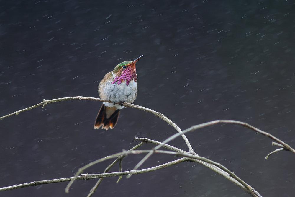 Volcano-Hummingbird-JPEG_web.jpg